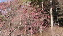 熱海梅園梅まつり 開花・イベント情報