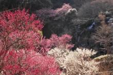 「あたみ桜」「熱海梅園」開花状況