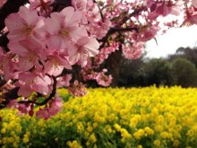 初島の桜、菜の花