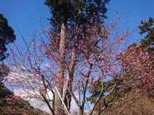 1月5日(土)「第75回熱海梅園梅まつり」