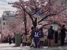 糸川あたみ桜