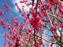熱海梅園梅まつり旅館組合主催「謝恩デー」