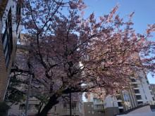 坂町の寺桜