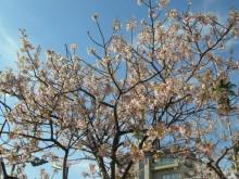 熱海市内各所で桜が見ごろです。